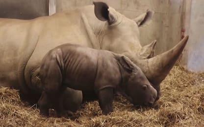 Copenaghen, nato un rinoceronte bianco allo zoo. VIDEO