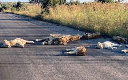 Leoni sdraiati su strade del Kruger park senza turisti. Foto
