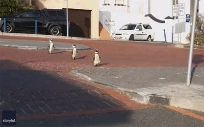 Coronavirus in Sud Africa pinguini attraversano la strada. VIDEO