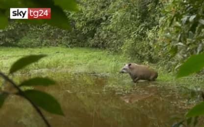 Brasile, ambientalisti festeggiano la nascita di un tapiro. VIDEO