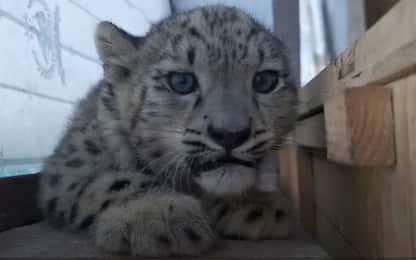 Cina, debutto in pubblico di due gemelle di leopardo delle nevi. VIDEO