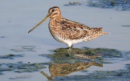 In Padule Fucecchio censiti 15mila uccelli svernanti