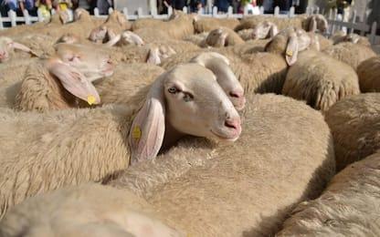 Varese, non prende reddito cittadinanza e porta pecore davanti Comune