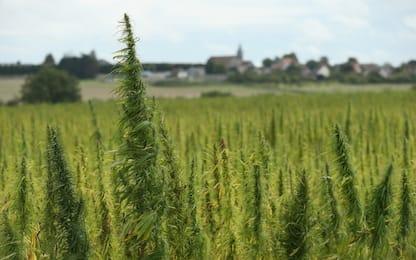 Droga a Domodossola, coltiva cannabis in montagna: denunciato