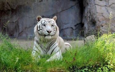 tigre_bengala_gladio_bioparco_ansa1