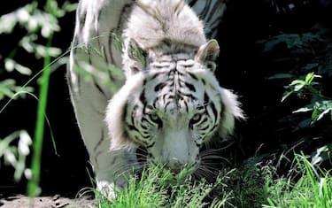tigre_bengala_gladio_bioparco_ansa8