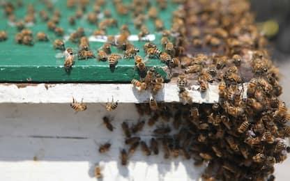 """Giornata mondiale delle api, l'Onu: """"Alti tassi di estinzione"""""""