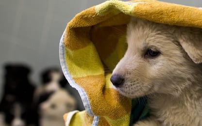 Traffico internazionale di cuccioli di cane, venti indagati