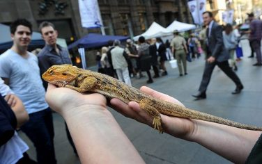 Getty_Images_Drago_barbuto_australiano