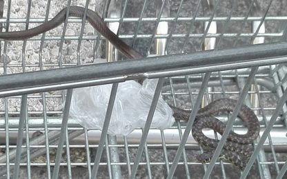 Milano, un serpente di un metro e mezzo nel carrello del supermercato