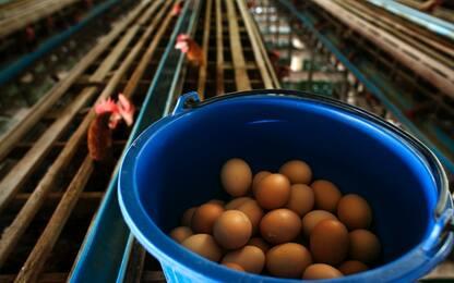 Aviaria, Hong Kong vieta l'importazione di pollo e uova da Milano