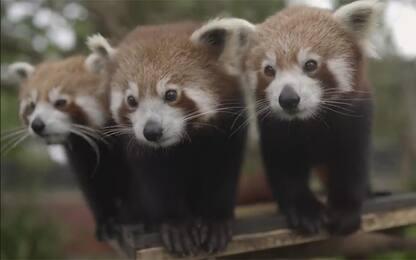 Australia, cuccioli di panda rossi mangiano e giocano. VIDEO