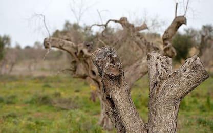 In Puglia quasi tremila ulivi positivi alla Xylella