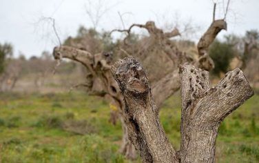 gettyimages_xylella_2_720