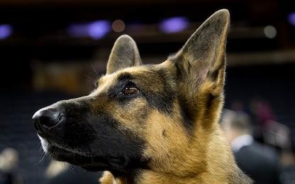Vivere con un cane 'ipoallergenico' non riduce il rischio d'asma