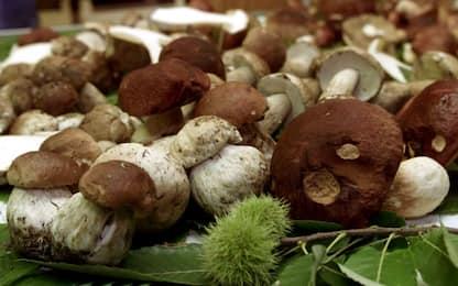 Funghi porcini d'alta quota da record sulle Alpi