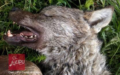 Investito e ucciso il cucciolo di lupo disabile del branco di Roma