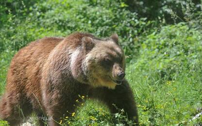 Orso morto, il Parco d'Abruzzo: non è stato ucciso dal narcotico