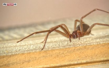 Terni, morso di ragno violino: uomo rischia la morte