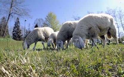 Benevento, due pecore sbranate: è allarme pantera