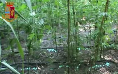 Vibo Valentia, blitz e arresti: trovate 26mila piante di canapa