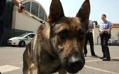 Scoperto dal cane poliziotto con 40 dosi di droga, arrestato a Ischia
