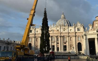 Vaticano, l'allestimento dell'albero di Natale