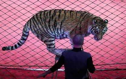 Palermo, tigre di un circo sequestrata dai carabinieri
