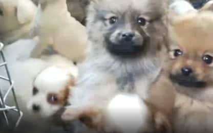 Rimini, sgominato traffico internazionale di cuccioli di cane