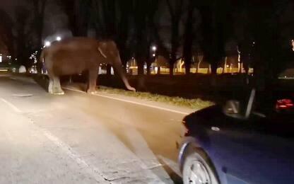 Elefante in circonvallazione: era scappato dal circo