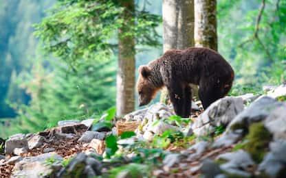 Atrofia muscolare, dal letargo degli orsi arriva un possibile aiuto