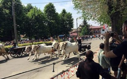 Animalisti protestano contro Corsa dei Buoi di Asigliano Vercellese