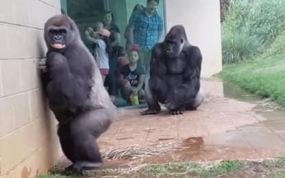 Odiate la pioggia? Anche i gorilla: VIDEO