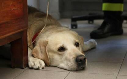 Addio a Ruben, cane pompiere simbolo dei Vigili del Fuoco di Milano