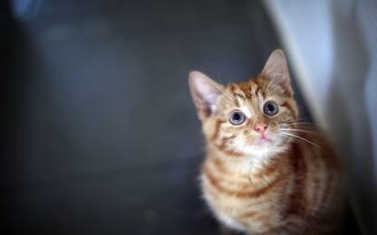 Gatti da Guinness, il mondo felino in mostra a Vaprio d'Adda