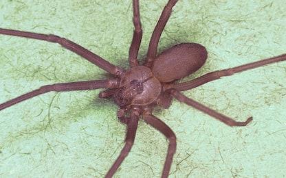 Marsala, donna morta per il morso di un ragno violino