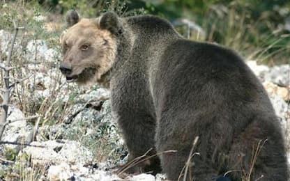 Livigno, orso ripreso nella notte dalle telecamere di sorveglianza