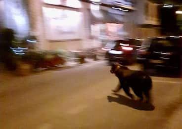 """Un orso """"a passeggio"""" nel centro di Scanno, l'Aquila"""