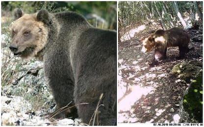 L'orso M49 prosegue la fuga e si sposta verso l'Alto Adige
