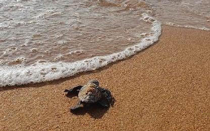 Castelvetrano, nate a Selinunte 82 tartarughe Caretta caretta