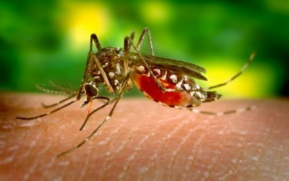 Dengue, un batterio nelle zanzare può impedirne la diffusione