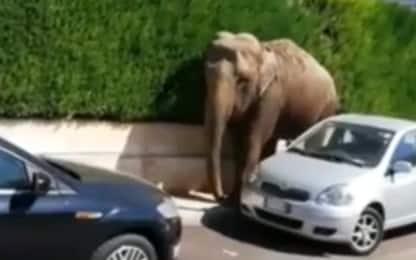 Francavilla Fontana, un elefante a spasso per le strade