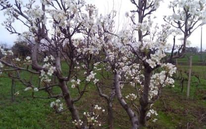 Puglia, a Natale alberi in fiore, Coldiretti: effetti caldo in autunno