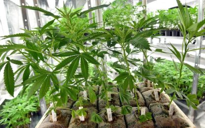 Riesi, scoperta piantagione di cannabis: arrestato 31enne