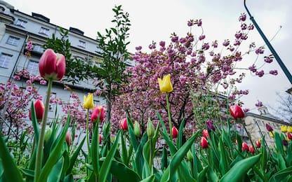 Torino, fioriscono i tulipani donati dal Castello Pralormo