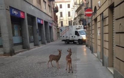 Coronavirus, a Casale Monferrato due caprioli in centro città. VIDEO