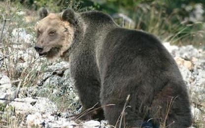 Trentino, l'orso M49 è stato catturato sui monti di Tione