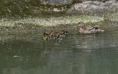 Milano, la passeggiata di mamma anatra con i piccoli. FOTO