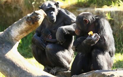 L'olio di palma può minacciare la sopravvivenza delle scimmie africane