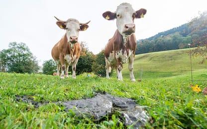 """Allarme Coldiretti: """"Mucche sotto stress per l'afa: -10% latte"""""""